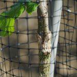 pianta di nocciolo innestata a dimora